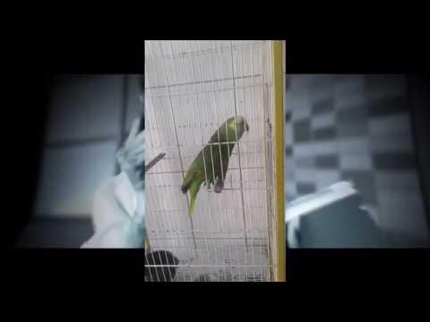 Parrots & Cockatiels Singing Hit Songs FUNNY BIRDS COMPLILATION