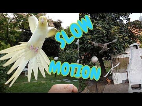 Cockatiel slow motion landings